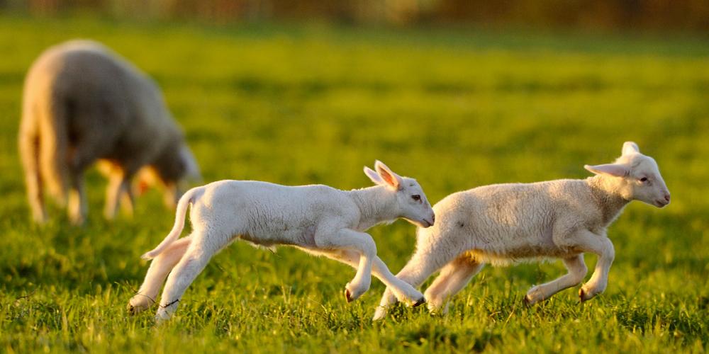 leaping-lambs.jpg