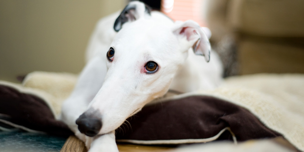 Greyhound adoptions increase