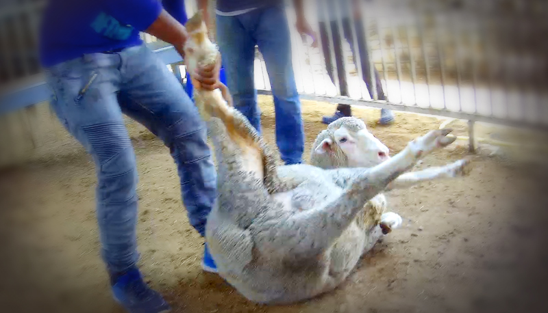 This Australian sheep was seperated from his herd, tighly bound, then privately (and illegally) sold for home slaughter.