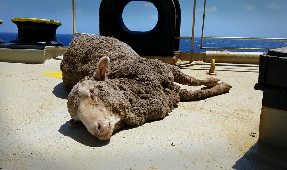 Animals Australia threatened a court injunction, to stop another ship leaving our shores.