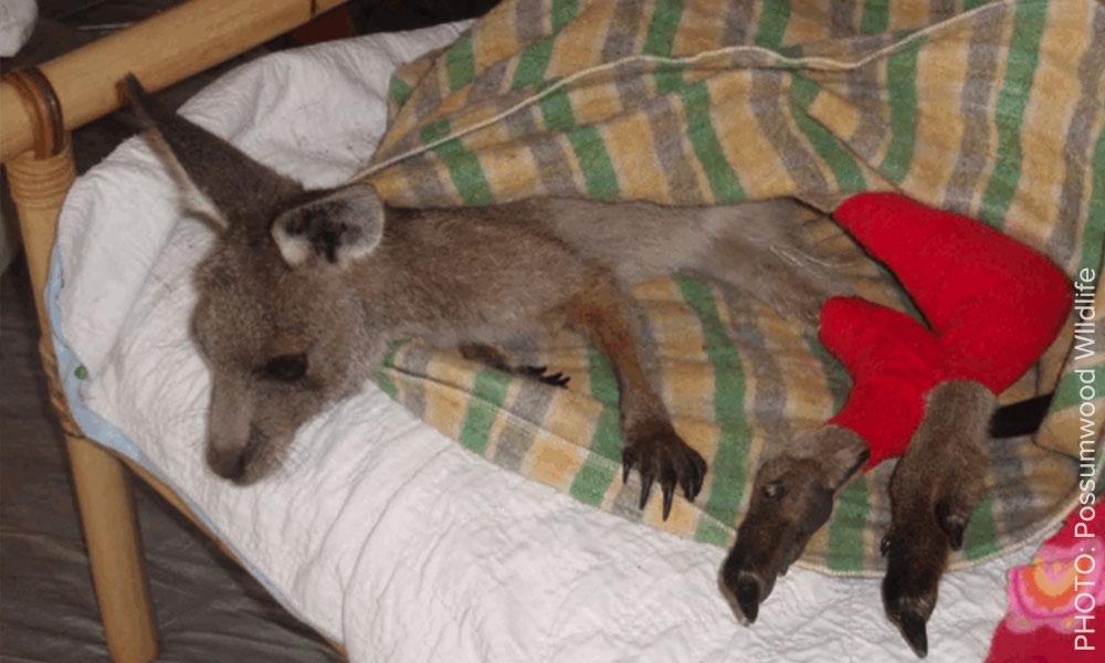 Possumwood Wildlife are helping native animals like this little joey.
