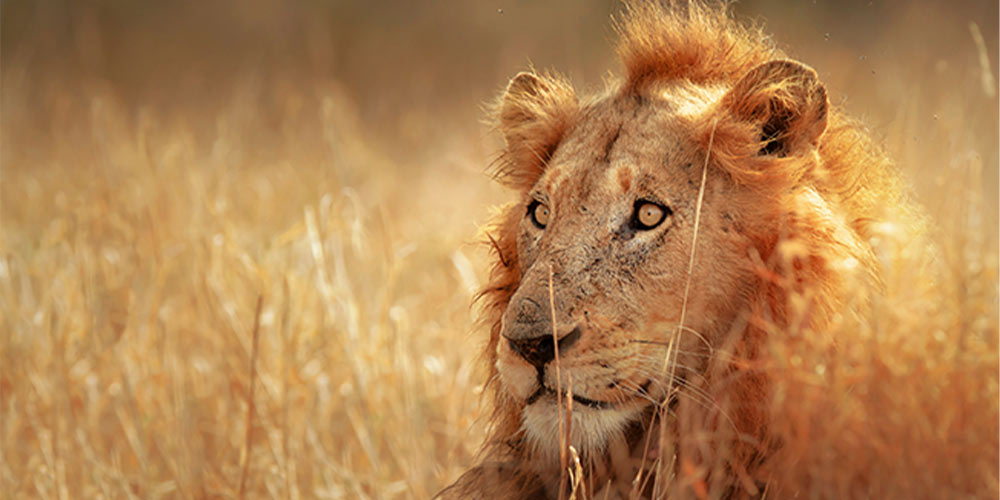 An adult lion in the wild