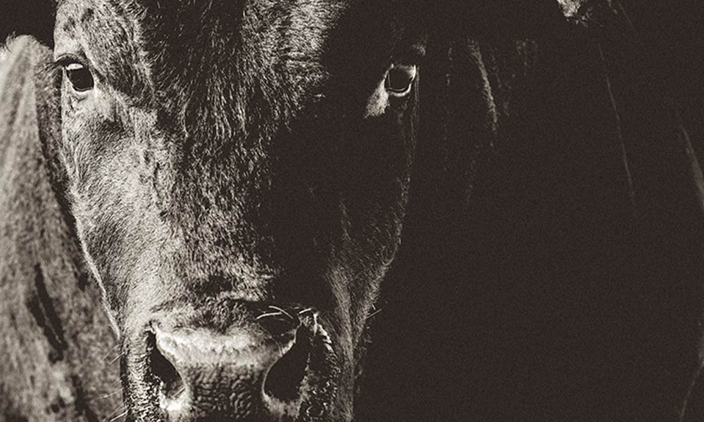 A black bull like Tommy, in black and white close up.