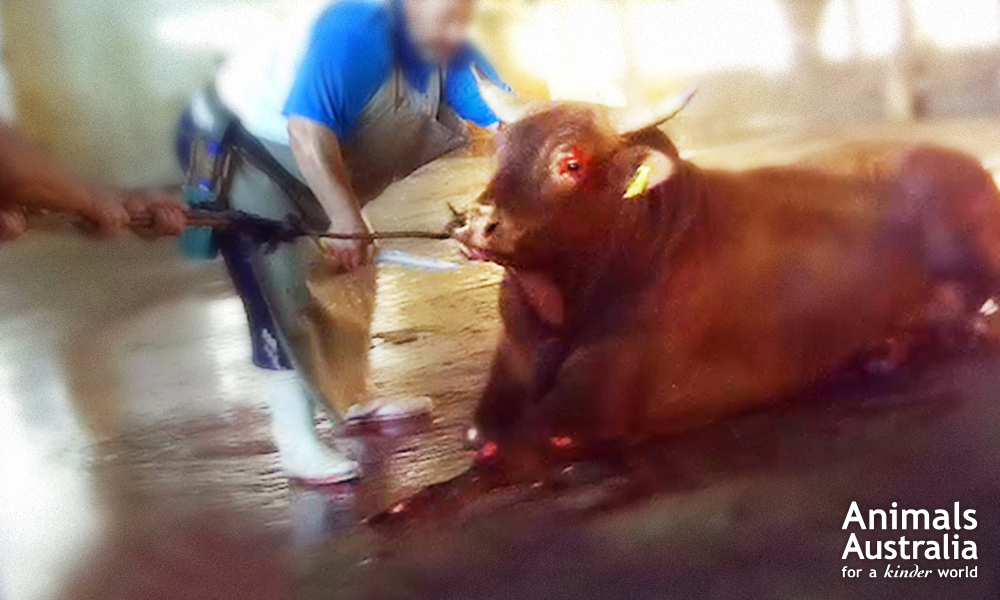 Evidence of this Brazilian bull's final moments helped inspire a legal halt on live exports from Brazil