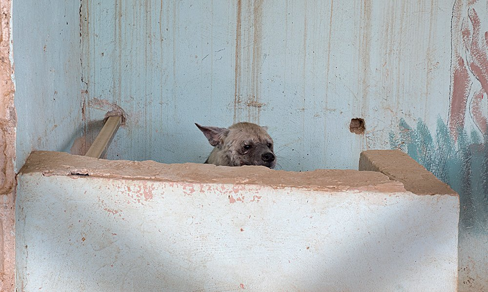 A frightened striped hyena hides behind a concrete wall in his enclosure