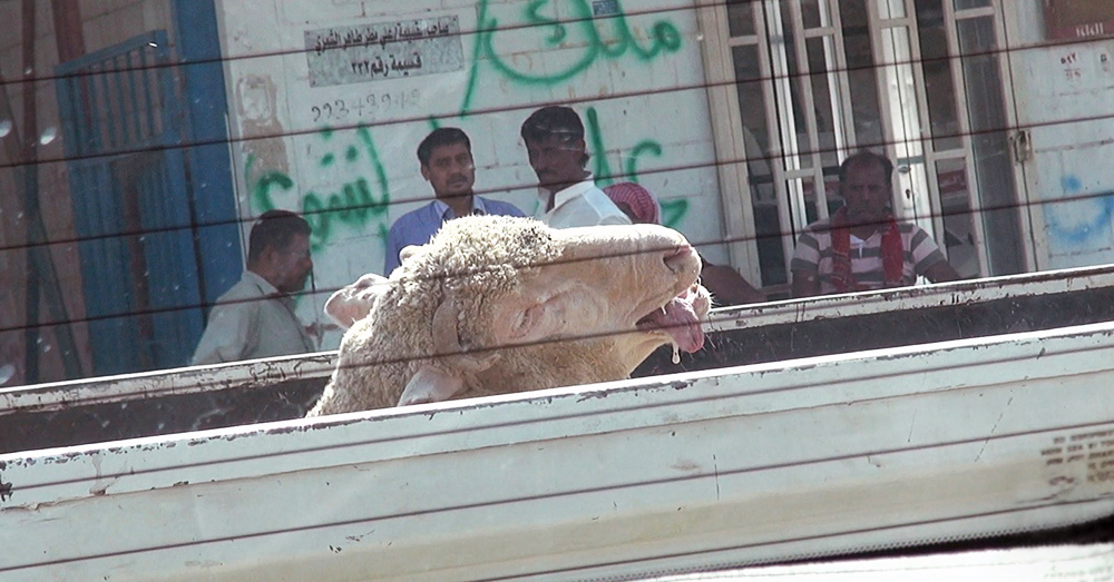 Routine cruelty in Kuwait markets and slaughterhouses