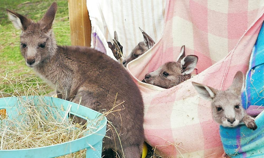Roos in pouches