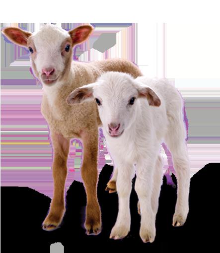 gratitude lambs