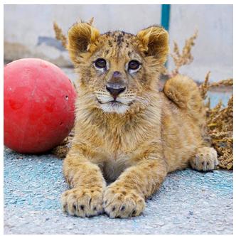 Jordanian zoo rescued lion cub