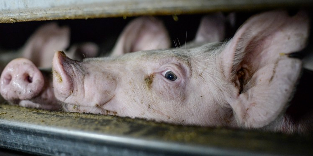 Pigs in an Australian farm. Photo: Jo-Anne McArthur / Animal Liberation Victoria