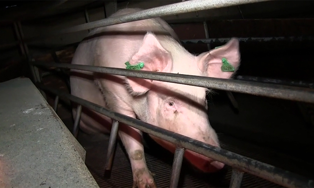 A mother pig in a farrowing crate