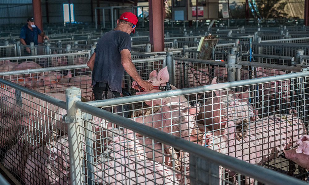 Intensively farmed pigs