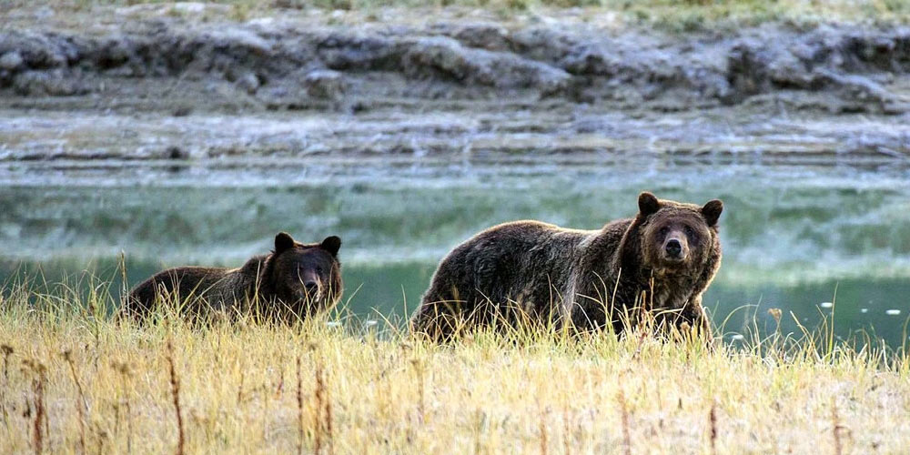 Grizzly bears safe from shooting