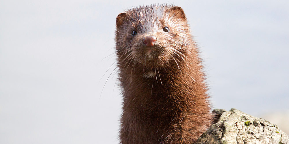 Minks spared fur farming