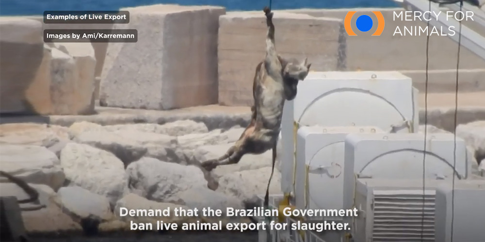 Shocking footage of Brazilian animals being winched and craned off live export ships prompted mass outrage around the world.