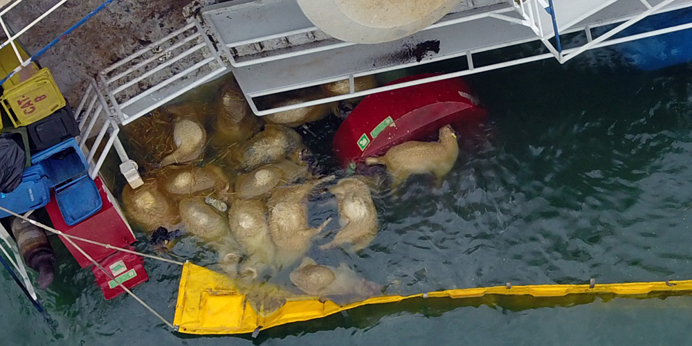 PHOTO: Drowned sheep floating in the water after the disastrous capsizing of the live export ship, the Queen Hind.