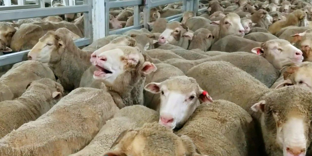Sheep suffering onboard a live export ship.