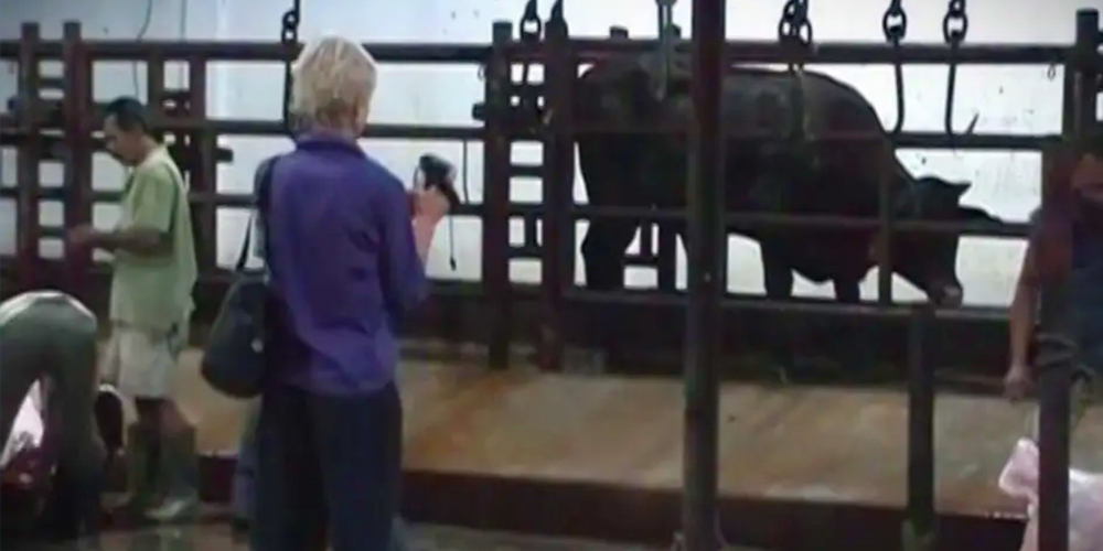 Lyn White at an Indonesian slaughterhouse in 2011, with Tommy.