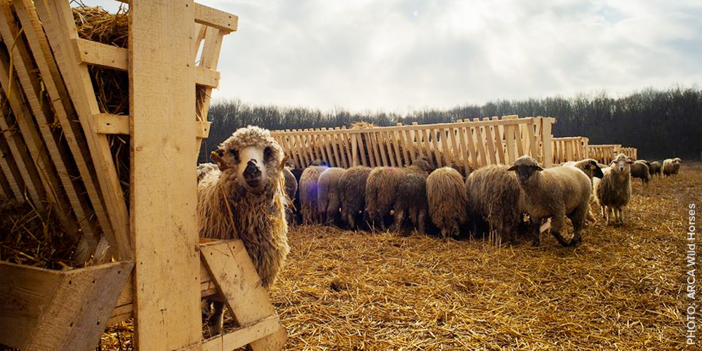 PHOTO: Rescued sheep from a live export shipwreck at their new home at a farmed animal sanctuary - seen here enjoy fresh, sweet hay in a paddock.