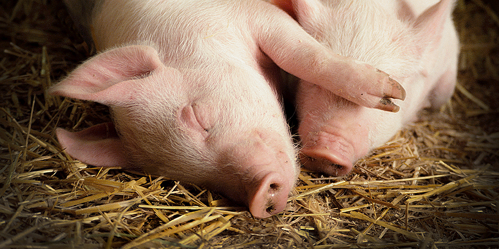 Pigs nurture lifelong friendships