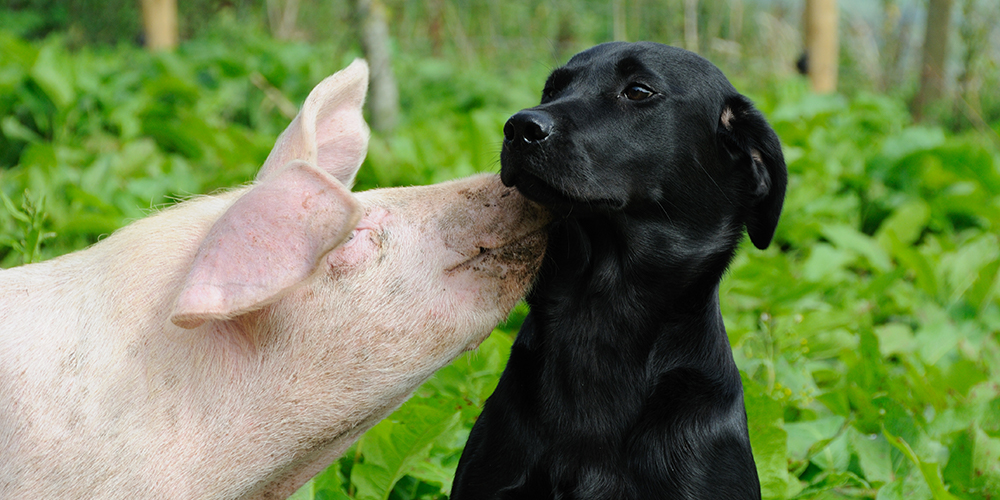 Pigs respond to kindness and love in much the same way as humans do