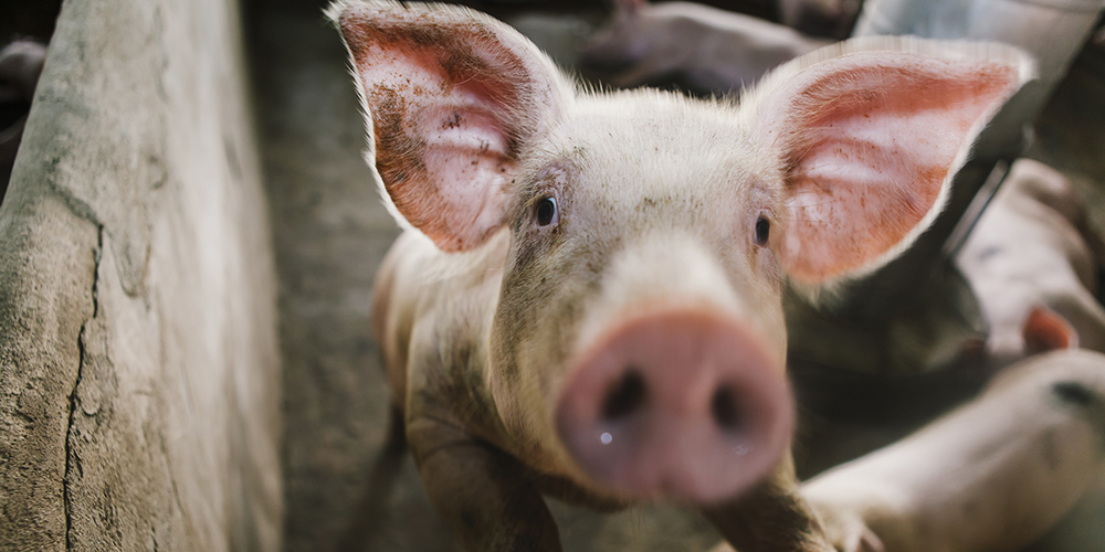 A pig uses their nose in much the same way we use our hands