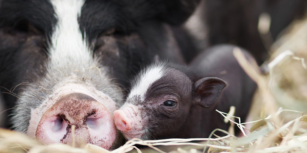 Mother pigs 'sing' to their piglets to let them know when it's dinner time