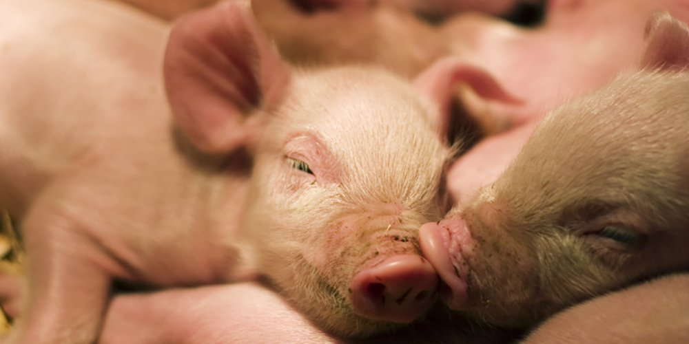 Pigs are highly intelligent and 'sophisticated'
