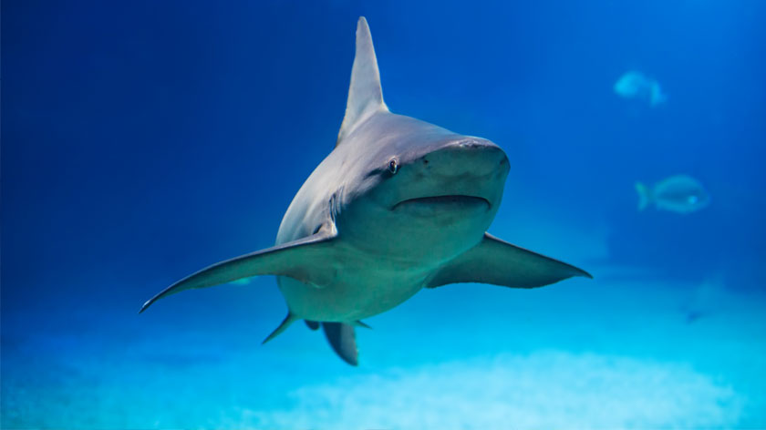 Sharks have a sixth sense