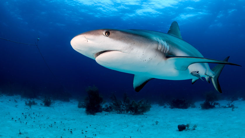 Sharks can be hypnotised