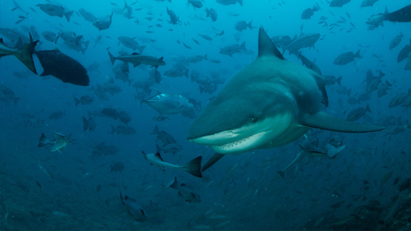 Without sharks, entire ecosystems will collapse