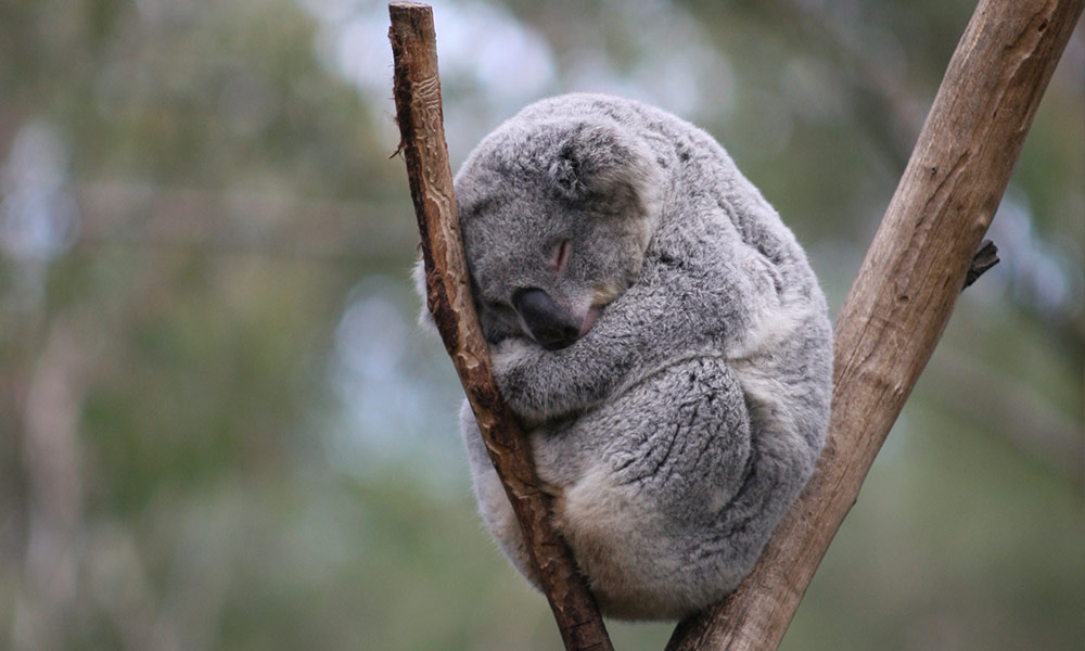 A koala sits huddled on the fork of a dry branch - According to an Oxford University study, loss of wild areas to agriculture is the leading cause of the current mass extinction of wildlife. In Australia, WWF estimates that more than 90% of tree-clearing in Queensland is due to cattle or sheep grazing.