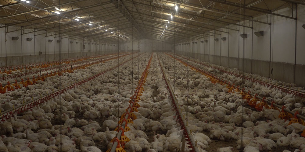 The reality of chicken meat — thousands of young broiler chickens in a huge artificially lit shed