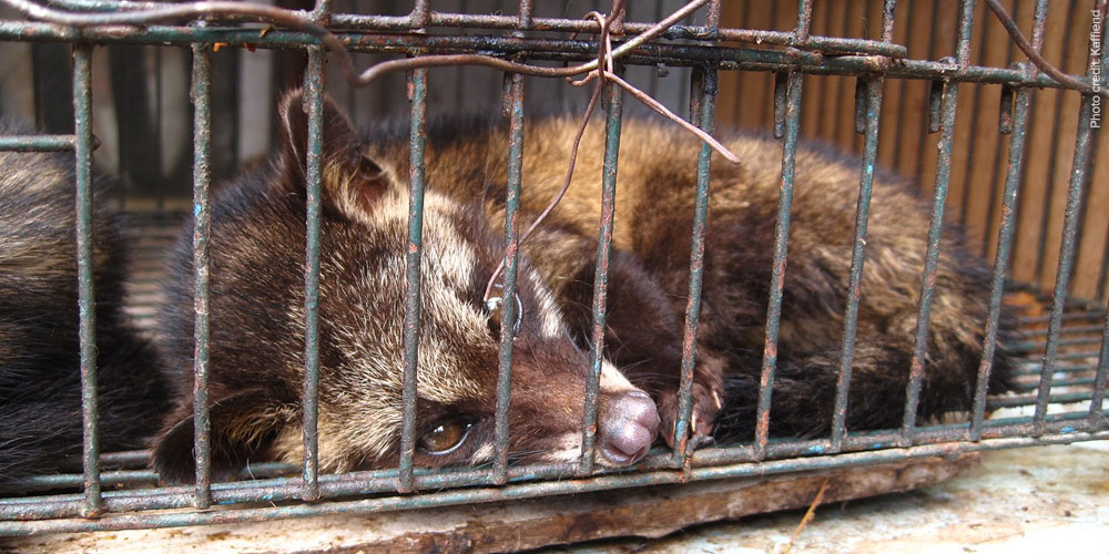 civet-cat-caged_kaffiend.jpg
