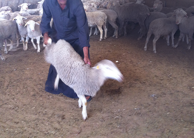 Al Rai market: A man drags an Australia sheep by the hind leg, while other sheep in the pen look on.