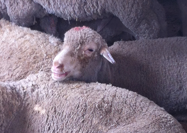 Al Rai market: An Australian sheep pants in the extreme heat.