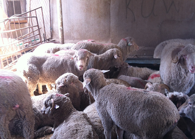 Al Rai market: Australian sheep for illegal sale.