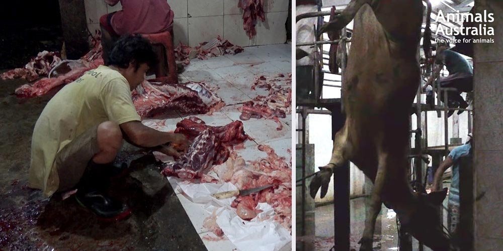 Cruel and dirty slaughter in Bali abattoirs