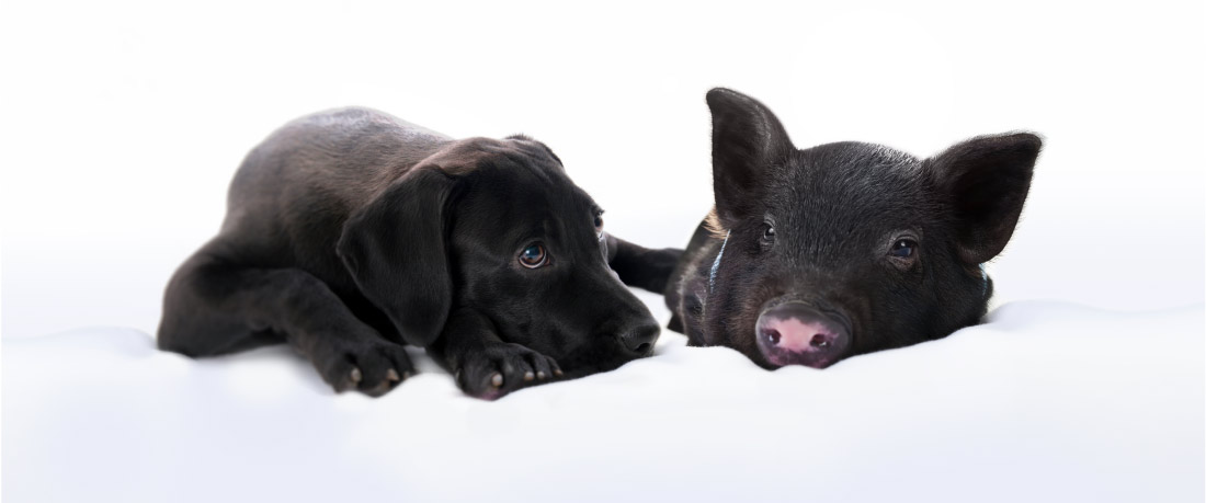 A black puppy lies next to a black piglet, almost touching noses