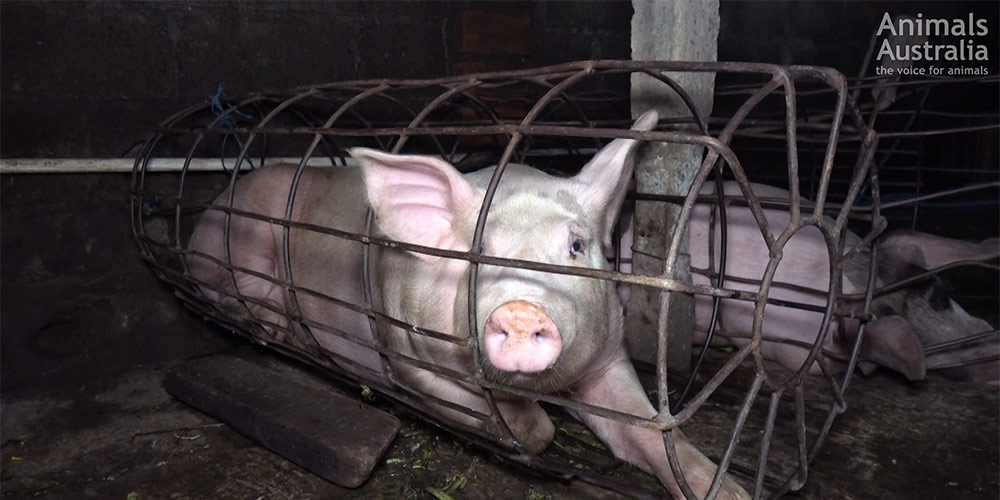 Pigs drowned in cages