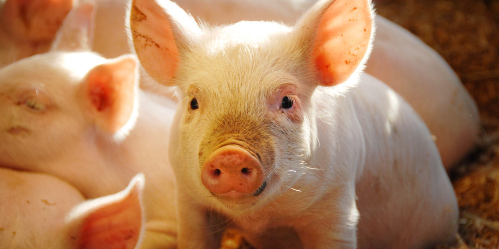 Pigs are gentle, sensitive and highly intelligent animals.