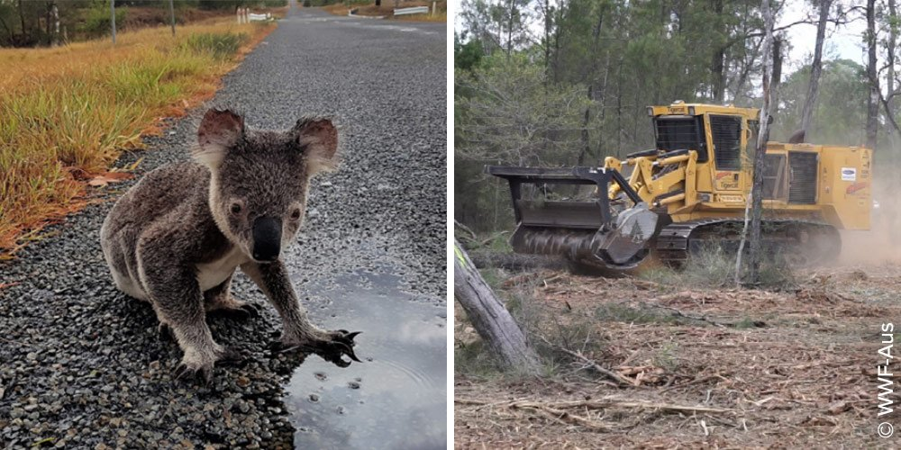 WWF RSPCA report - Land clearing in Queensland is threatening native animals koalas, with bulldozers