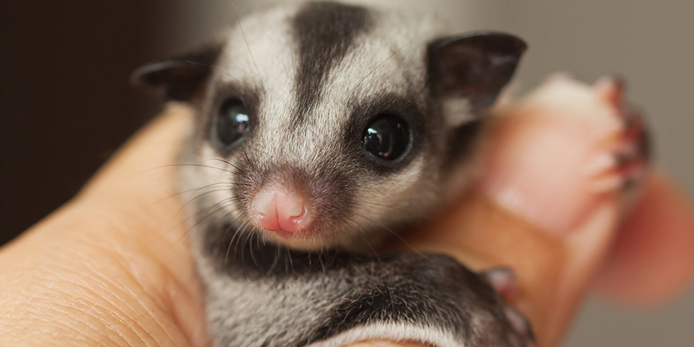 WWF RSPCA report - Land clearing in Queensland is threatening native animals like the sugar glider