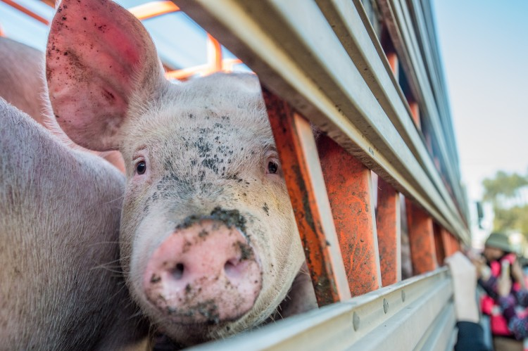 Pig looks out from transport truck