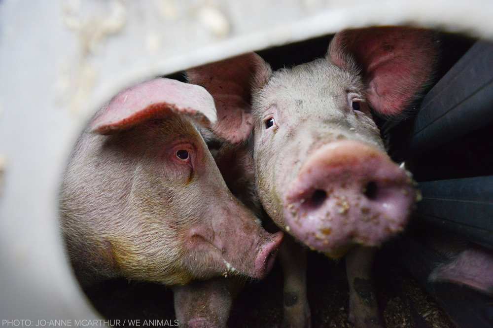 The pigs who try to comfort each other — on the way to the slaughterhouse.