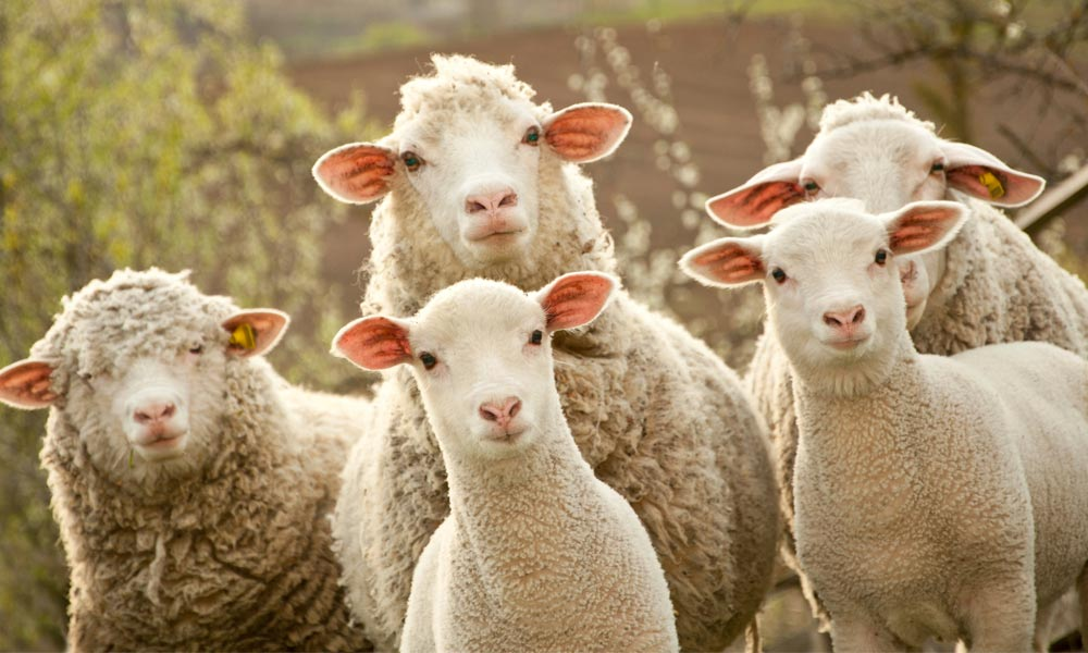 The secret lives of sheep | Animals Australia